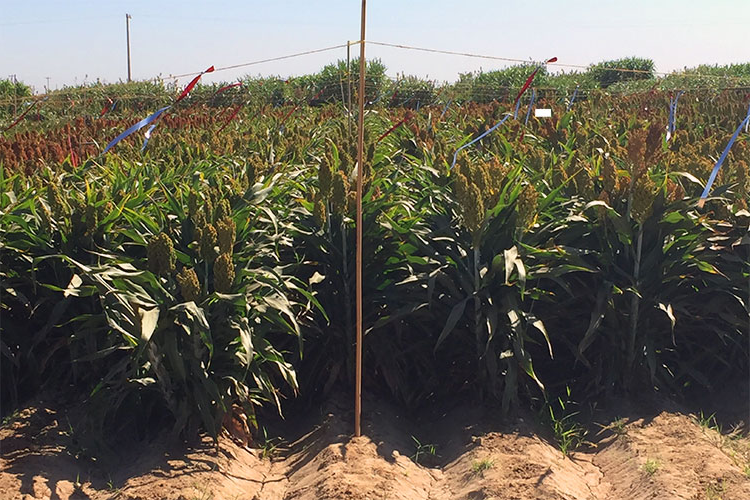 A photo of a field of sorghum crops on a bright sunny day