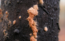 Neurospora fungus growing on dead wood at a controlled burn site in North Carolina.